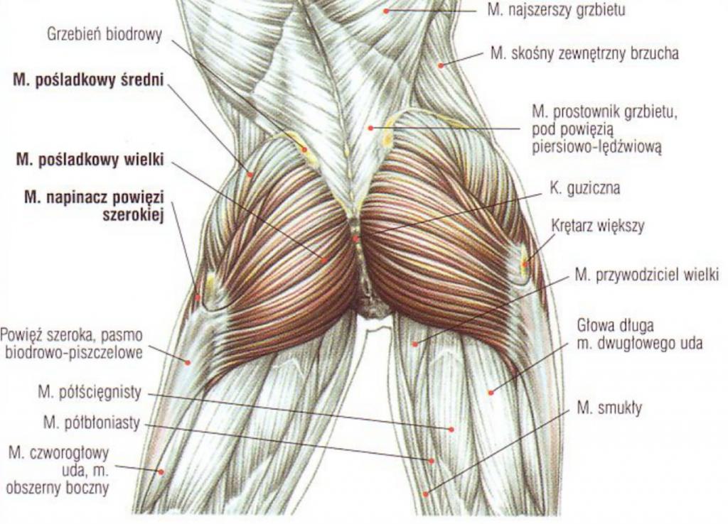 anatomia pośladka